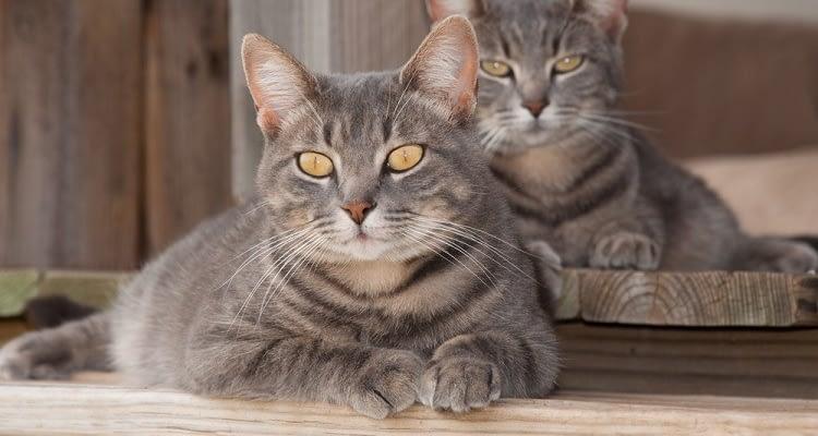 Kedilerde bulunan bir bakteri, enfeksiyondan koruyabilir!