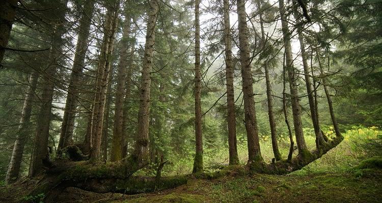 Dünyadaki ağaç türlerinin yaklaşık üçte biri yok olma tehlikesiyle karşı karşıya!