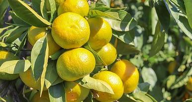 Satsuma mandalinanın ihracat yolculuğu bu hafta başlıyor
