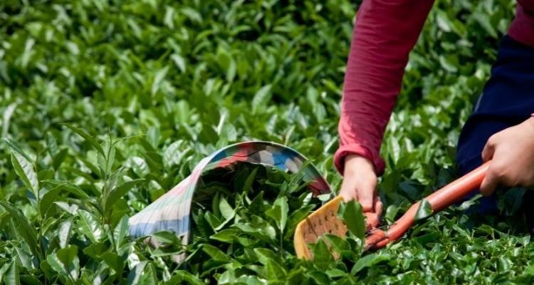 Çay nasıl yetiştirilir? Çay nerede yetişir? Çayın faydaları nelerdir?