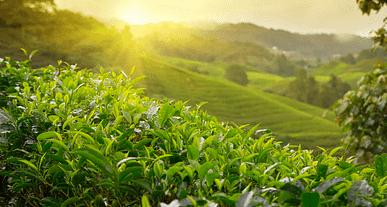 Çay hangi bölgede yetişir? Hangi ürün hangi bölgede yetişir?