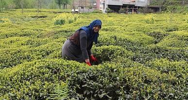 Çay üreticileri taban fiyat beklentisini açıkladı!