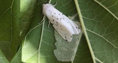 Amerikan Beyaz Kelebeği ile mücadelede ikinci dönem başlıyor