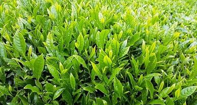 Yılın ilk çeyreğinde çay ihracatı arttı!
