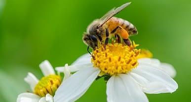 Mantar aşısı arıları kurtarabilecek mi?